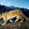 Download prowling snow leopard wallpapers, prowling snow leopard wallpapers Free Wallpaper download for Desktop, PC, Laptop. prowling snow leopard wallpapers HD Wallpapers, High Definition Quality Wallpapers of prowling snow leopard wallpapers.