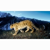Prowling Snow Leopard Wallpapers