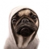 Download pug cover, pug cover  Wallpaper download for Desktop, PC, Laptop. pug cover HD Wallpapers, High Definition Quality Wallpapers of pug cover.