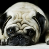 Download pug wallpapers, pug wallpapers Free Wallpaper download for Desktop, PC, Laptop. pug wallpapers HD Wallpapers, High Definition Quality Wallpapers of pug wallpapers.