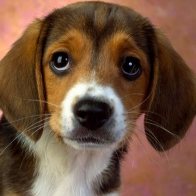 Puppy Eyes Beagle Wallpapers