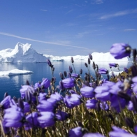Purple Arctic Flowers Wallpapers