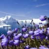 purple arctic flowers,nature landscape Wallpapers, nature landscape Wallpaper for Desktop, PC, Laptop. nature landscape Wallpapers HD Wallpapers, High Definition Quality Wallpapers of nature landscape Wallpapers.