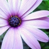 Download purple aster, purple aster  Wallpaper download for Desktop, PC, Laptop. purple aster HD Wallpapers, High Definition Quality Wallpapers of purple aster.