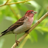 Purple Finch Hd Wallpapers