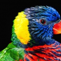Rainbow Lorikeet Bird Wallpapers