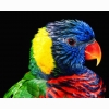 Rainbow Lorikeet Hd Wallpapers