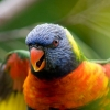 Download rainbow lorikeet parrot wallpapers, rainbow lorikeet parrot wallpapers Free Wallpaper download for Desktop, PC, Laptop. rainbow lorikeet parrot wallpapers HD Wallpapers, High Definition Quality Wallpapers of rainbow lorikeet parrot wallpapers.