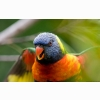 Rainbow Lorikeet Parrot Wallpapers