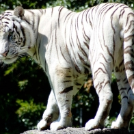 Rare White Tiger Wallpapers