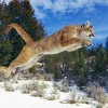 Download raw power cougar wallpapers, raw power cougar wallpapers Free Wallpaper download for Desktop, PC, Laptop. raw power cougar wallpapers HD Wallpapers, High Definition Quality Wallpapers of raw power cougar wallpapers.