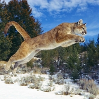 Raw Power Cougar Wallpapers