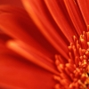 Download red gerbera daisy, red gerbera daisy  Wallpaper download for Desktop, PC, Laptop. red gerbera daisy HD Wallpapers, High Definition Quality Wallpapers of red gerbera daisy.