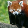Download red panda wallpapers, red panda wallpapers Free Wallpaper download for Desktop, PC, Laptop. red panda wallpapers HD Wallpapers, High Definition Quality Wallpapers of red panda wallpapers.