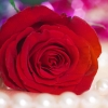 Download red rose 5, red rose 5  Wallpaper download for Desktop, PC, Laptop. red rose 5 HD Wallpapers, High Definition Quality Wallpapers of red rose 5.