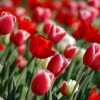 Download red tulips in spring, red tulips in spring  Wallpaper download for Desktop, PC, Laptop. red tulips in spring HD Wallpapers, High Definition Quality Wallpapers of red tulips in spring.