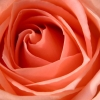 Download rose hdtv 1080p, rose hdtv 1080p  Wallpaper download for Desktop, PC, Laptop. rose hdtv 1080p HD Wallpapers, High Definition Quality Wallpapers of rose hdtv 1080p.
