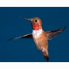 Rufous Hummingbird Hd Wallpapers