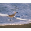 Sandpiper Hd Wallpapers