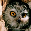 Download saw whet owl hd wallpapers, saw whet owl hd wallpapers Free Wallpaper download for Desktop, PC, Laptop. saw whet owl hd wallpapers HD Wallpapers, High Definition Quality Wallpapers of saw whet owl hd wallpapers.