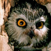 Saw Whet Owl Hd Wallpapers