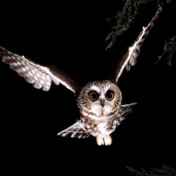 Saw Whet Owl Wallpapers