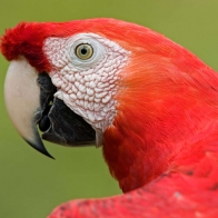 Scarlet Macaw Portrait Amazon Wallpapers