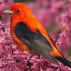 Download scarlet tanager bird wallpapers, scarlet tanager bird wallpapers Free Wallpaper download for Desktop, PC, Laptop. scarlet tanager bird wallpapers HD Wallpapers, High Definition Quality Wallpapers of scarlet tanager bird wallpapers.