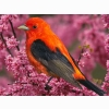 Scarlet Tanager Bird Wallpapers