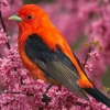 Download scarlet tanager hd wallpapers, scarlet tanager hd wallpapers Free Wallpaper download for Desktop, PC, Laptop. scarlet tanager hd wallpapers HD Wallpapers, High Definition Quality Wallpapers of scarlet tanager hd wallpapers.
