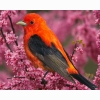 Scarlet Tanager Hd Wallpapers