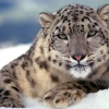 Download scary snow leopard wallpapers, scary snow leopard wallpapers Free Wallpaper download for Desktop, PC, Laptop. scary snow leopard wallpapers HD Wallpapers, High Definition Quality Wallpapers of scary snow leopard wallpapers.