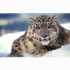 Scary Snow Leopard Wallpapers