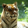 Download scary tiger wallpapers, scary tiger wallpapers Free Wallpaper download for Desktop, PC, Laptop. scary tiger wallpapers HD Wallpapers, High Definition Quality Wallpapers of scary tiger wallpapers.