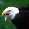 Download screaming eagle wallpapers, screaming eagle wallpapers Free Wallpaper download for Desktop, PC, Laptop. screaming eagle wallpapers HD Wallpapers, High Definition Quality Wallpapers of screaming eagle wallpapers.