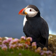 Seabird Atlantic Puffin Wallpapers