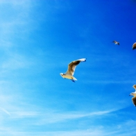 Seagulls In Flight Wallpapers