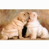 Shar Pei Puppies Wallpapers