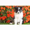 Shetland Sheepdog Puppy Wallpapers