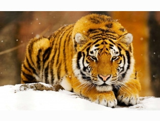 Siberian Snow Tiger Wallpapers
