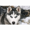 Siberian Wolf Wallpapers