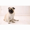 Sitting Pug Wallpapers