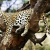 Download sleeping cheetah wallpapers, sleeping cheetah wallpapers Free Wallpaper download for Desktop, PC, Laptop. sleeping cheetah wallpapers HD Wallpapers, High Definition Quality Wallpapers of sleeping cheetah wallpapers.