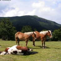 Sleeping Horse Wallpapers