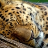 Download sleeping leopard wallpapers, sleeping leopard wallpapers Free Wallpaper download for Desktop, PC, Laptop. sleeping leopard wallpapers HD Wallpapers, High Definition Quality Wallpapers of sleeping leopard wallpapers.