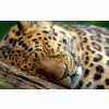 Sleeping Leopard Wallpapers
