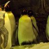 Download sleeping penguins wallpapers, sleeping penguins wallpapers Free Wallpaper download for Desktop, PC, Laptop. sleeping penguins wallpapers HD Wallpapers, High Definition Quality Wallpapers of sleeping penguins wallpapers.