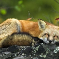 Sleeping Red Fox Wallpapers