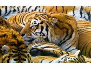 Sleeping Tigers Wallpapers
