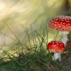 Download small mushrooms, small mushrooms  Wallpaper download for Desktop, PC, Laptop. small mushrooms HD Wallpapers, High Definition Quality Wallpapers of small mushrooms.
